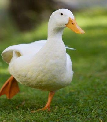 اردک-پکنی